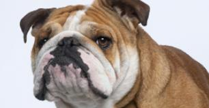 photo image of bulldog